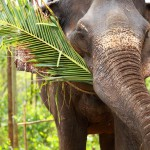 elephants-playing-eating-sugar-cane-with-their-herd
