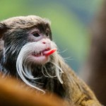 emperor-tamarin-sticking-its-tongue-out