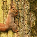 european-squirrel-on-a-tree-trunk-sciurus