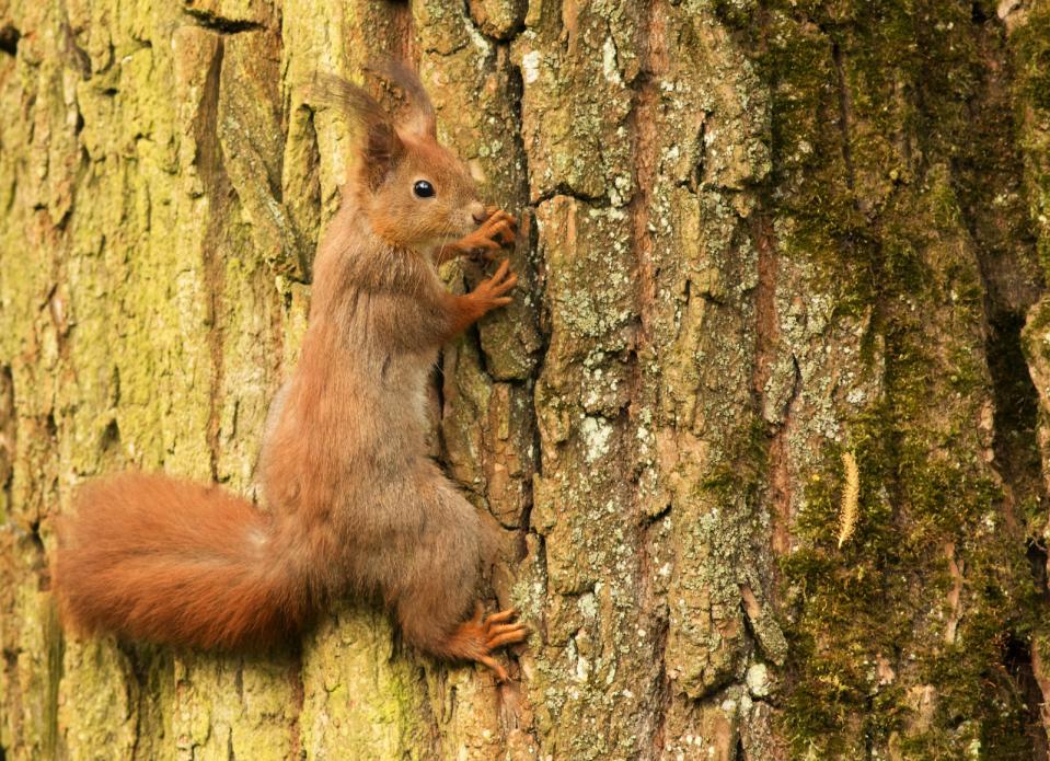 Tierpark Olderdissen Bielefeld: Affen, Bären, Elche, Rehe, Esel, Rinder, Bison, Rothirsch, Braunbär, Auerhahn, Pfau, Eulen, Wisent, Wildschweine, Hirschwild, Rotwild, Heimtiere, Wildtiere,  Öffnungszeiten, Anfahrt, Eintritt, Tiere, Restauranteuropean-squirrel-on-a-tree-trunk-sciurus