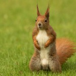 european-squirrel-sitanding-on-the-grass-sciurus