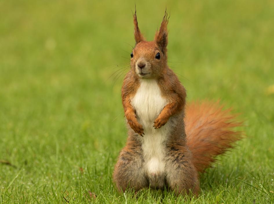 Tierpark Olderdissen Bielefeld: Affen, Bären, Elche, Rehe, Esel, Rinder, Bison, Rothirsch, Braunbär, Auerhahn, Pfau, Eulen, Wisent, Wildschweine, Hirschwild, Rotwild, Heimtiere, Wildtiere,  Öffnungszeiten, Anfahrt, Eintritt, Tiere, Restauranteuropean-squirrel-sitanding-on-the-grass-sciurus