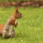 european-squirrel-sitting-on-the-grass-sciurus