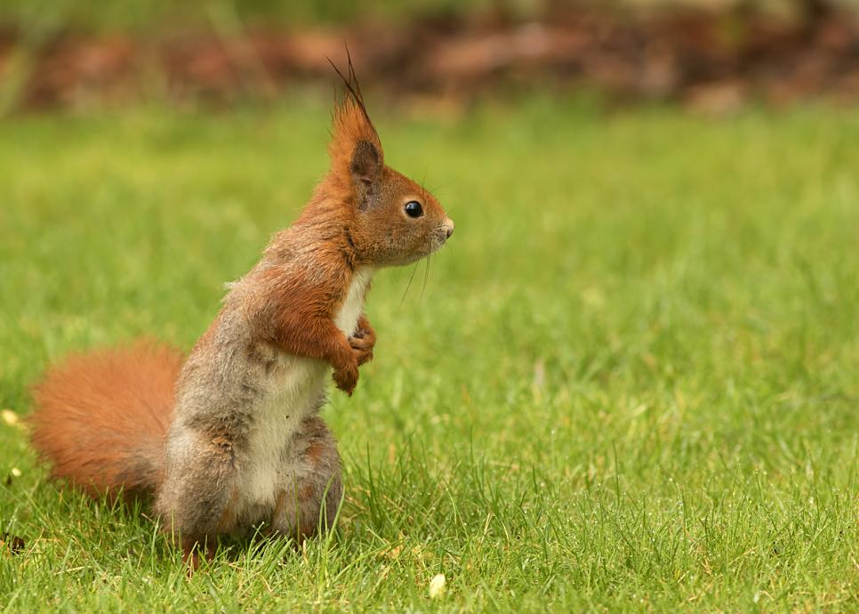 Tierpark Olderdissen Bielefeld: Affen, Bären, Elche, Rehe, Esel, Rinder, Bison, Rothirsch, Braunbär, Auerhahn, Pfau, Eulen, Wisent, Wildschweine, Hirschwild, Rotwild, Heimtiere, Wildtiere,  Öffnungszeiten, Anfahrt, Eintritt, Tiere, Restauranteuropean-squirrel-sitting-on-the-grass-sciurus