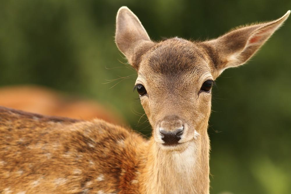 fallow-deer-calf-looking-at-camera