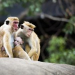 family-of-red-faced-macaque-monkeys-in-the-forest