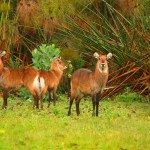 family-of-waterbuck