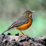 female-black-breast-thrush