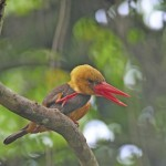 female-brown-winged-kingfisher (1)