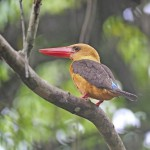 female-brown-winged-kingfisher