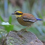 female-malayan-banded-pitta