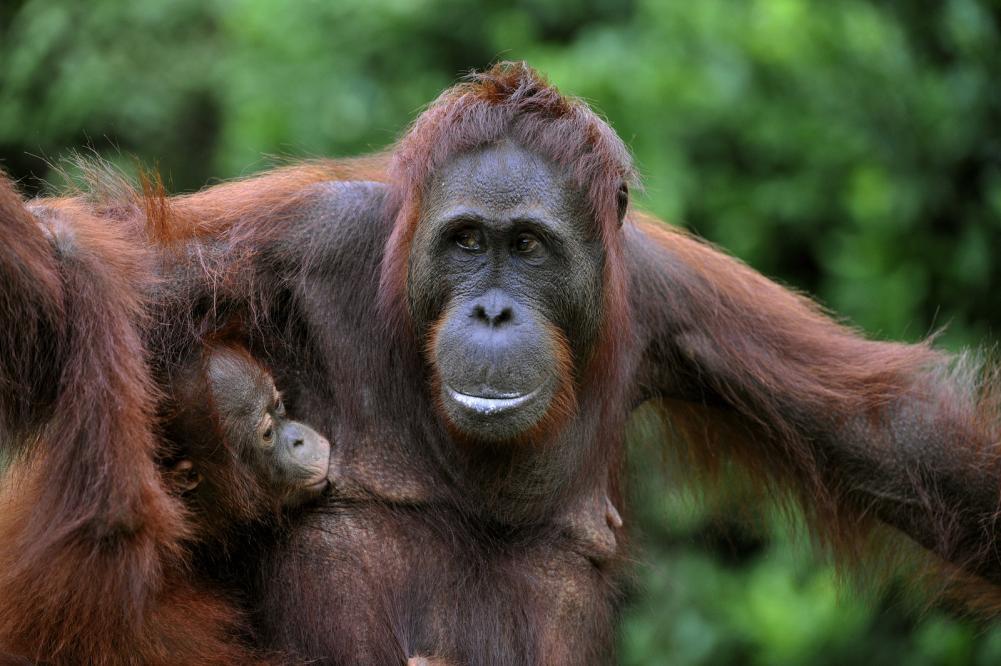 Tierpark Olderdissen Bielefeld: Affen, Bären, Elche, Rehe, Esel, Rinder, Bison, Rothirsch, Braunbär, Auerhahn, Pfau, Eulen, Wisent, Wildschweine, Hirschwild, Rotwild, Heimtiere, Wildtiere,  Öffnungszeiten, Anfahrt, Eintritt, Tiere, Restaurantfemale-of-the-orangutan-with-a-baby