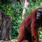 female-orang-utan-in-borneo-indonesia