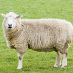 female-sheep