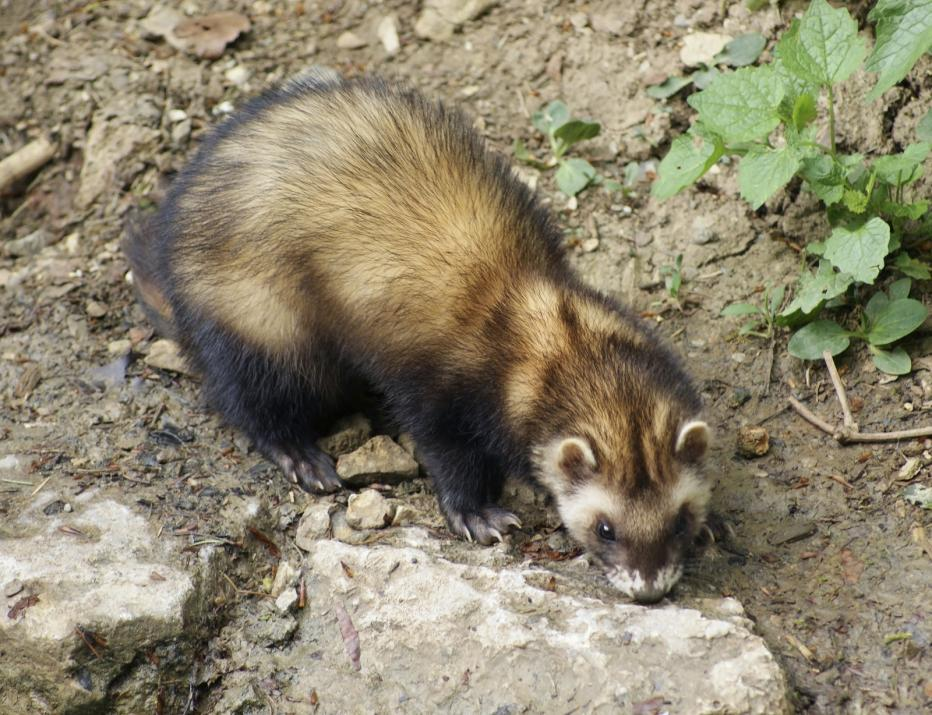 ferret-in-stony-back