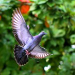 flying-pigeon-in-natural