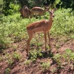 gazelles-in-africa