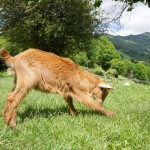 goat-playing-in-asturias