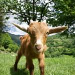 goat-staring-in-asturias