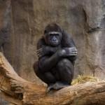 gorilla-ape-looking-at-crowd