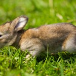 gray-bunny-in-green-grass