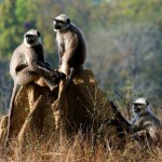 gray-langurs-presbytis-entellus