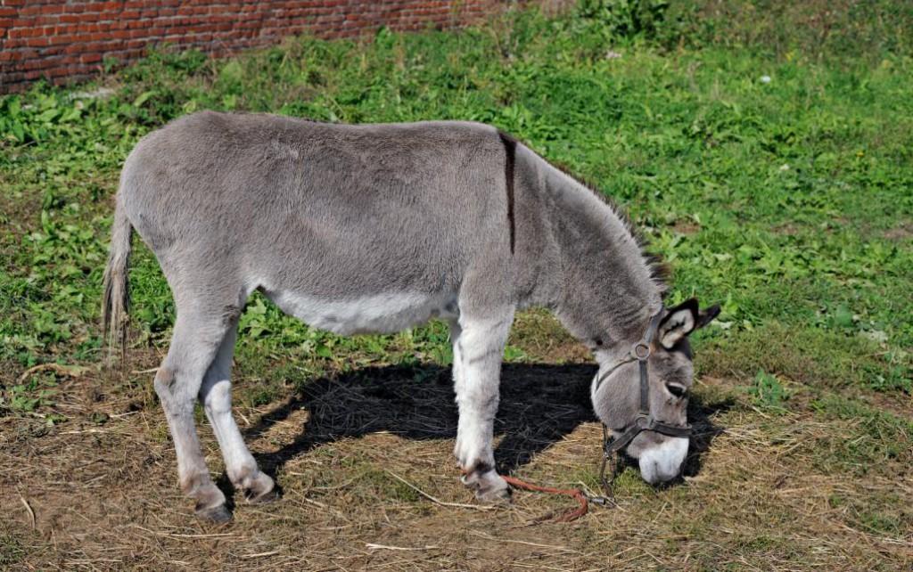 grazed-mule