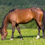 grazing-brown-horse
