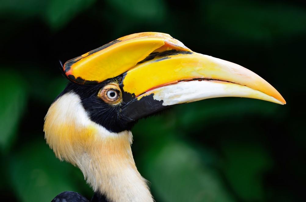 great-hornbill