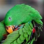 green-eclectus-parrot (2)