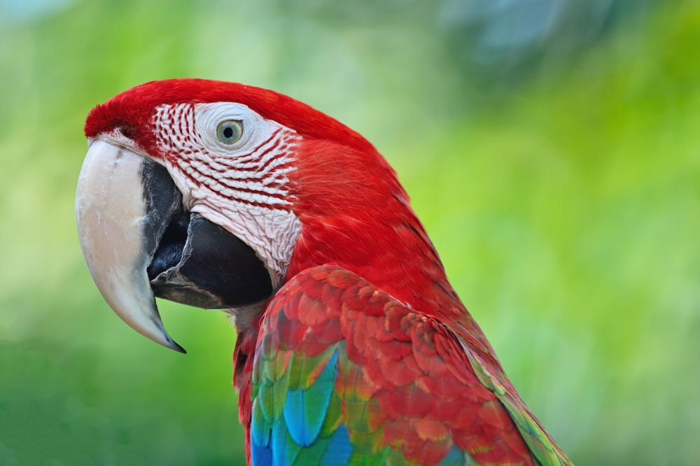 greenwinged-macaw (1)