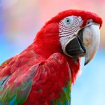 greenwinged-macaw