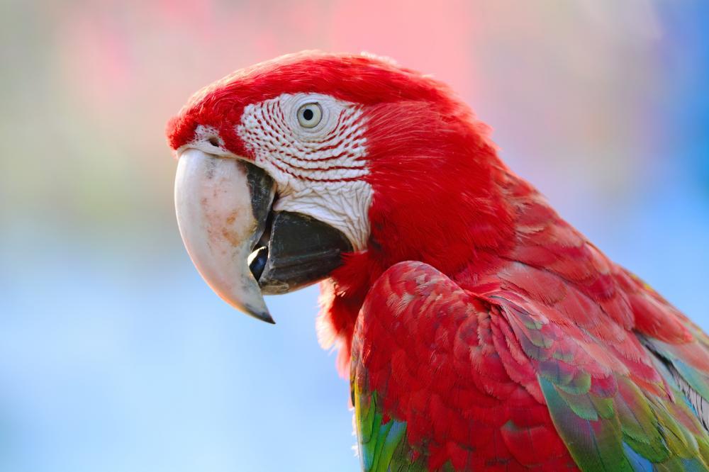 greenwinged-macaw (3)