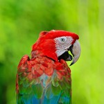 greenwinged-macaw (4)