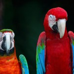 greenwinged-macaw-and-harlequin-macaw