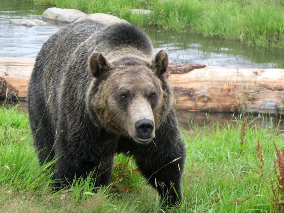 Tierpark Olderdissen Bielefeld: Affen, Bären, Elche, Rehe, Esel, Rinder, Bison, Rothirsch, Braunbär, Auerhahn, Pfau, Eulen, Wisent, Wildschweine, Hirschwild, Rotwild, Heimtiere, Wildtiere,  Öffnungszeiten, Anfahrt, Eintritt, Tiere, Restaurantgrizzly-bear-habitat-grouse-mountain-vancouver-bc-canada