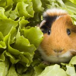 guinea-pig-is-sitting-between-endive-leafs