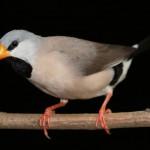 hecks-grassfinch-bird