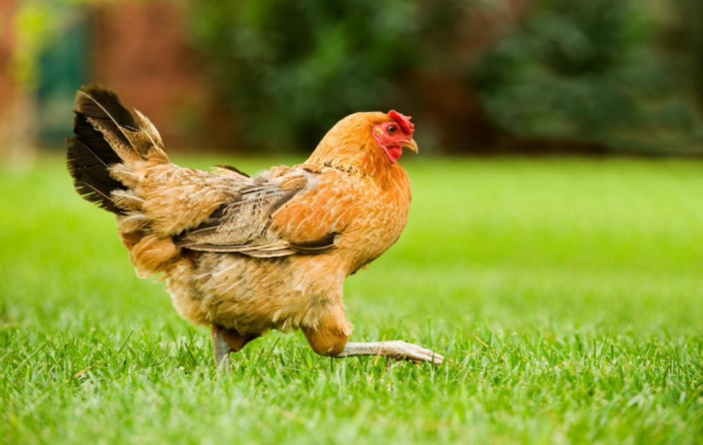 hen-on-the-move