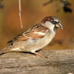 house-sparrow-passer-domesticus