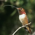 humming-bird-perched-on-branch