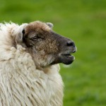 irish-sheep