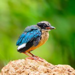 juvenile-blue-winged-pitta