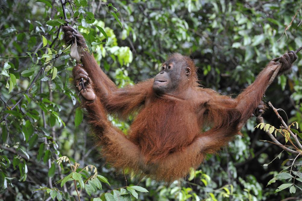 Tierpark Olderdissen Bielefeld: Affen, Bären, Elche, Rehe, Esel, Rinder, Bison, Rothirsch, Braunbär, Auerhahn, Pfau, Eulen, Wisent, Wildschweine, Hirschwild, Rotwild, Heimtiere, Wildtiere,  Öffnungszeiten, Anfahrt, Eintritt, Tiere, Restaurantjuvenile-orangutan-pongo-pygmaeus