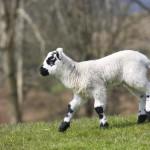 lamb-running