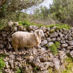 lamb-sheep-in-mediterranean-landscape-at-menorca