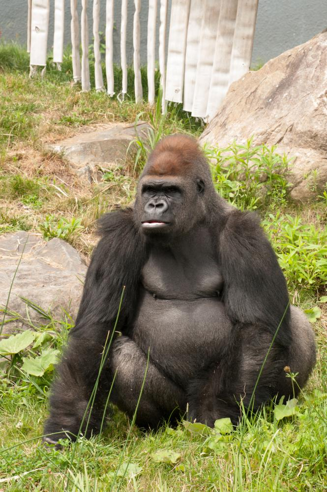 large-gorilla-looking-at-his-right-at-the-zoo