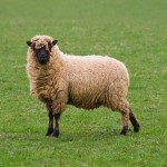 lone-sheep