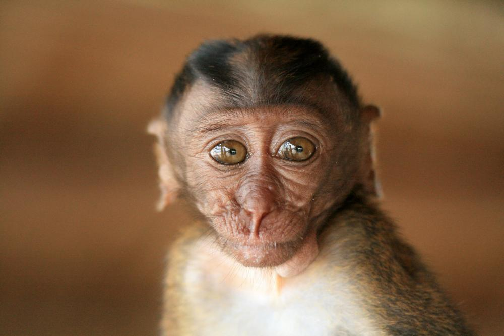 long-tailed-macaque-baby (1)