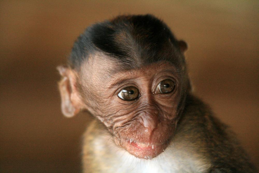 Tierpark Olderdissen Bielefeld: Affen, Bären, Elche, Rehe, Esel, Rinder, Bison, Rothirsch, Braunbär, Auerhahn, Pfau, Eulen, Wisent, Wildschweine, Hirschwild, Rotwild, Heimtiere, Wildtiere,  Öffnungszeiten, Anfahrt, Eintritt, Tiere, Restaurantlong-tailed-macaque-baby (2)